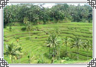 Rice Terraces Ubud